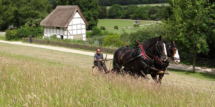 Shire horses harvesting