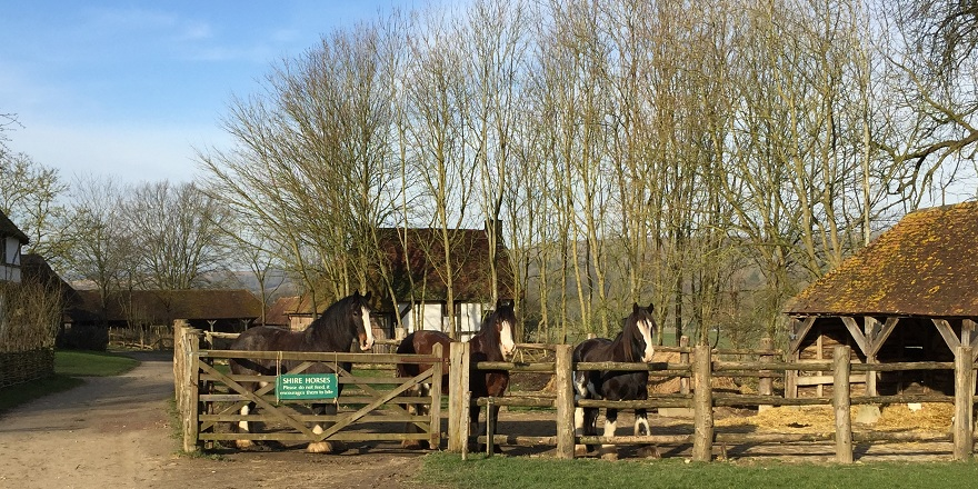 Shire horses at the Weald & Downland Museum