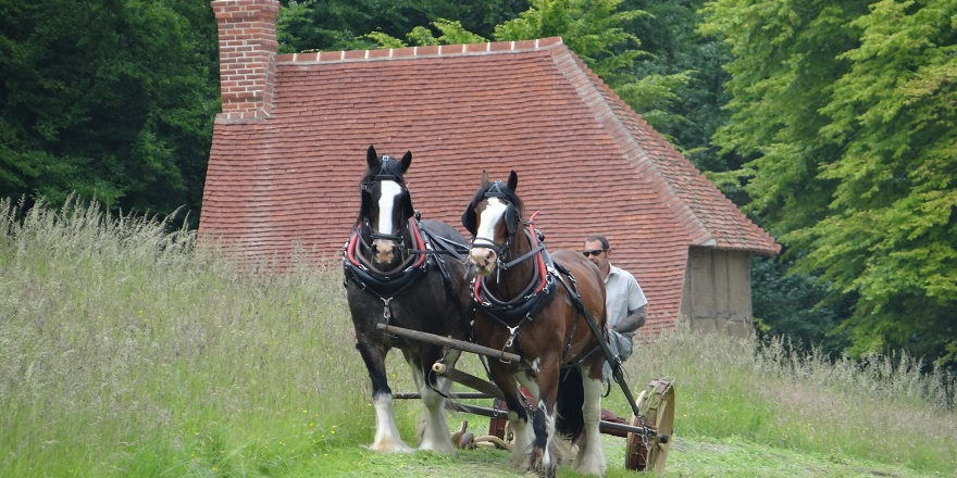 Shire horses working weald & downland museum