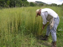 Pulling flax by hand Weald & Downland Museum