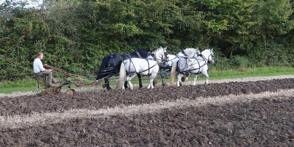 Heavy Horses ploughing