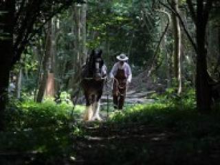 Weald & Downland Museum Shire horses Epsom Show 24 June 2015