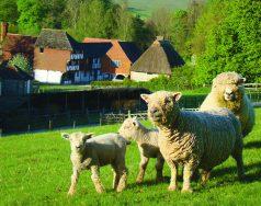 Southdowns sheep