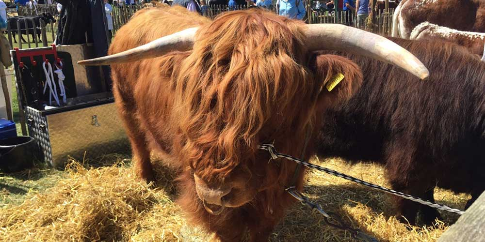 Highland bull at the Rare Breeds Show 2015