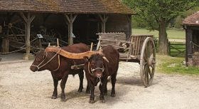 Pair of working Sussex oxen at the Weald & Downland Living Museum