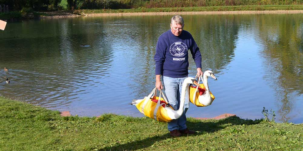 Rescuing swans