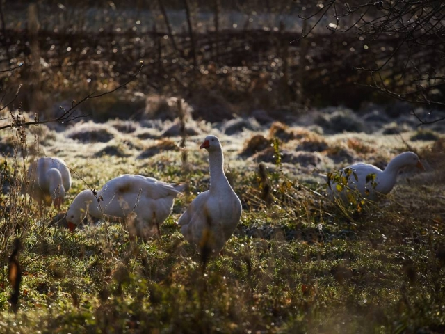 Weald & Downland Living Museum - Embden geese - Christmas 2016