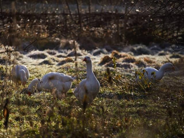 Weald & Downland Living Museum - Embden geese - Christmas 2016
