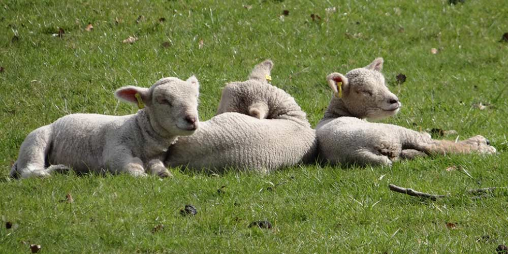 Southdown spring lambs