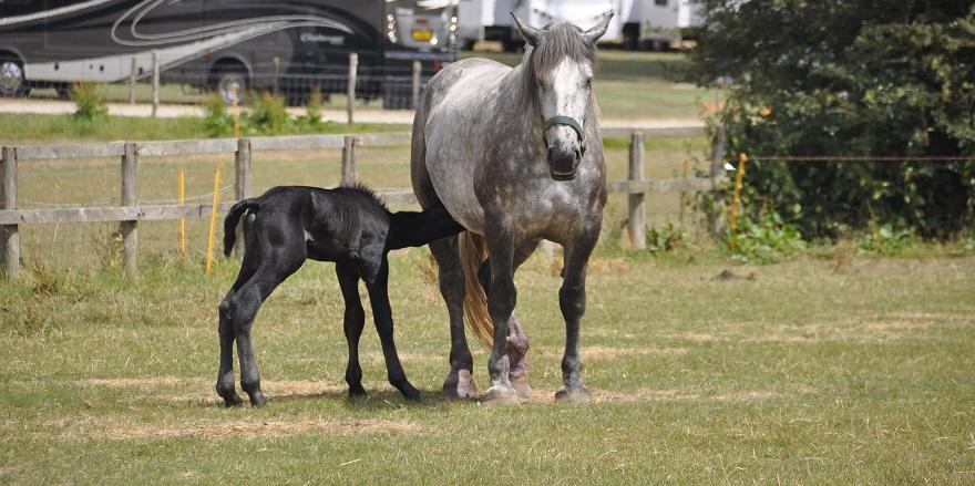 Percheron foal Sampson