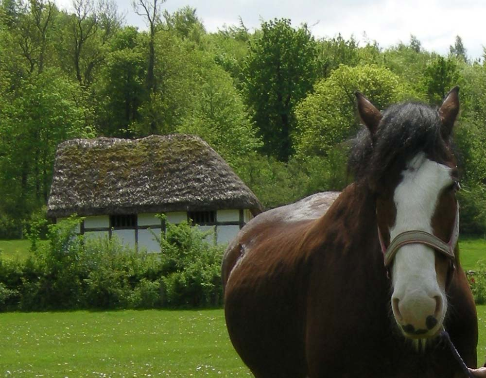 Major, the Museum's Shire horse