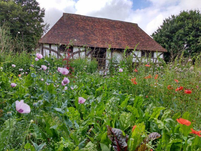Poppies in Bayleaf garden, July 2016
