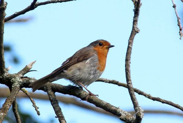 See robins and more birds at Weald & Downland Museum