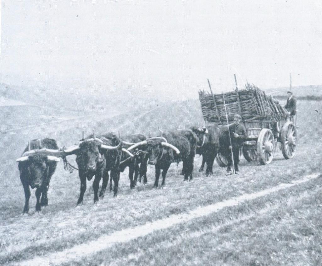 Animal husbandry oxen