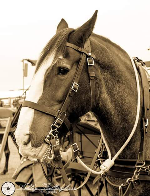 Working horse at show
