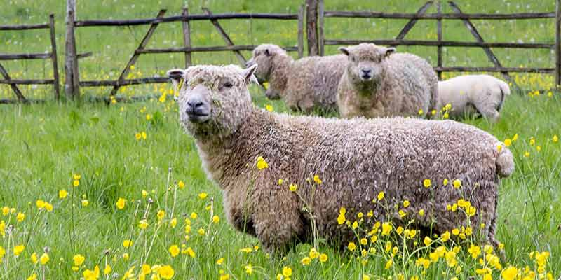 Sheep at the Museum