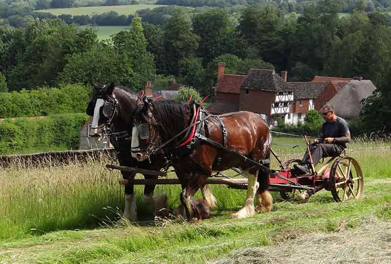 Haymaking with shirehorses