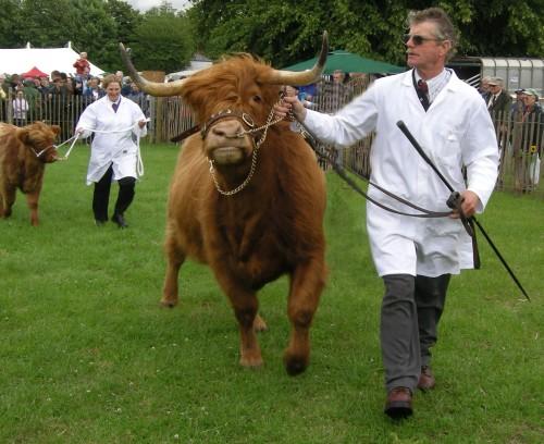 Highland cattle parading