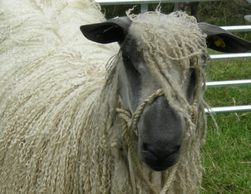 Long wool sheep