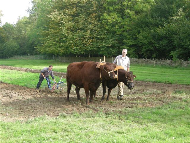 Ploughing with working cattle