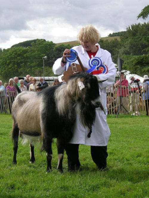 Prize giving goats