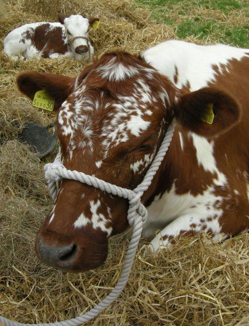 Rare Breeds cow and calf