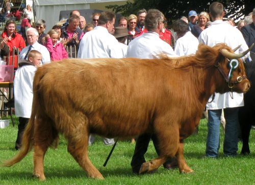 Rare Breeds Highland cow on the move