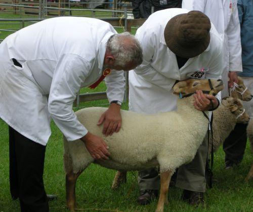 Rare Breeds judge assessing sheep