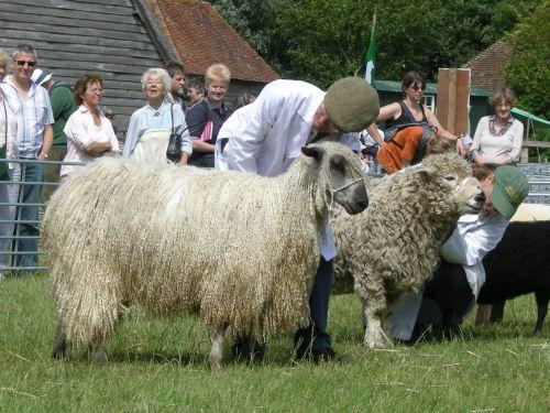 Rare Breeds long wool sheep