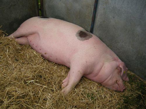 Rare Breeds pig asleep