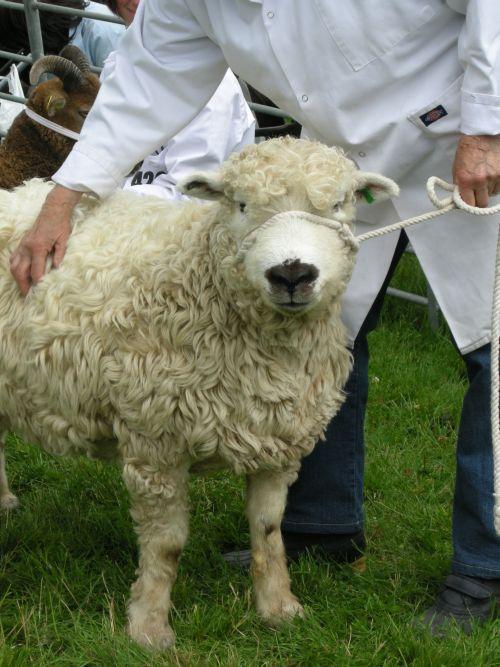 Rare Breeds sheep with handler