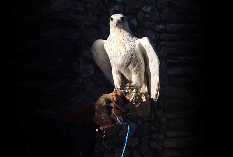 Introduction to Falconry