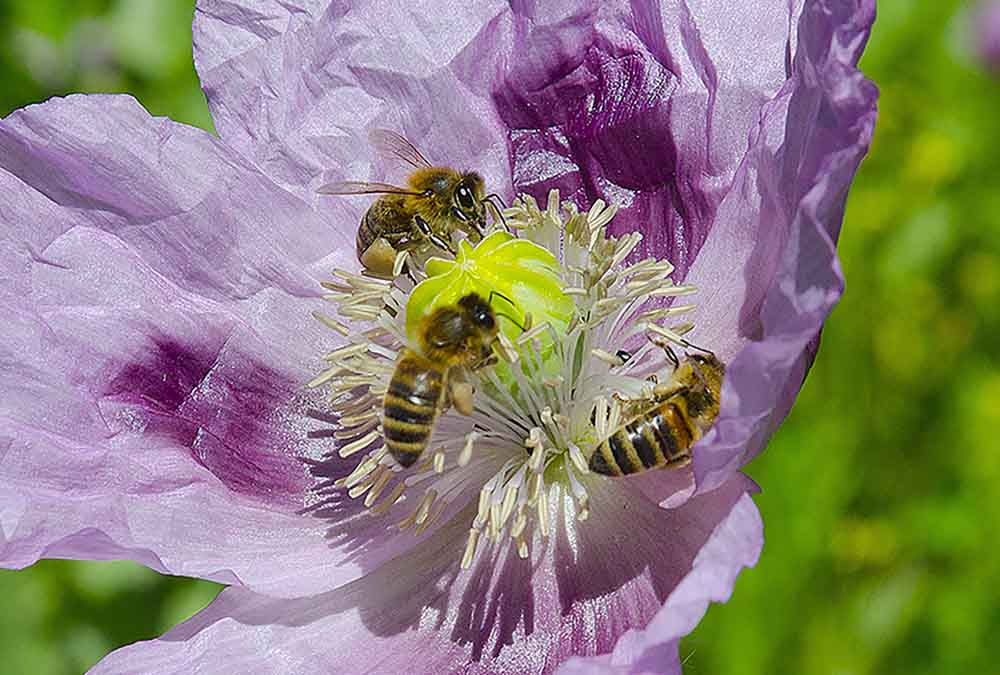 Bees in a flower