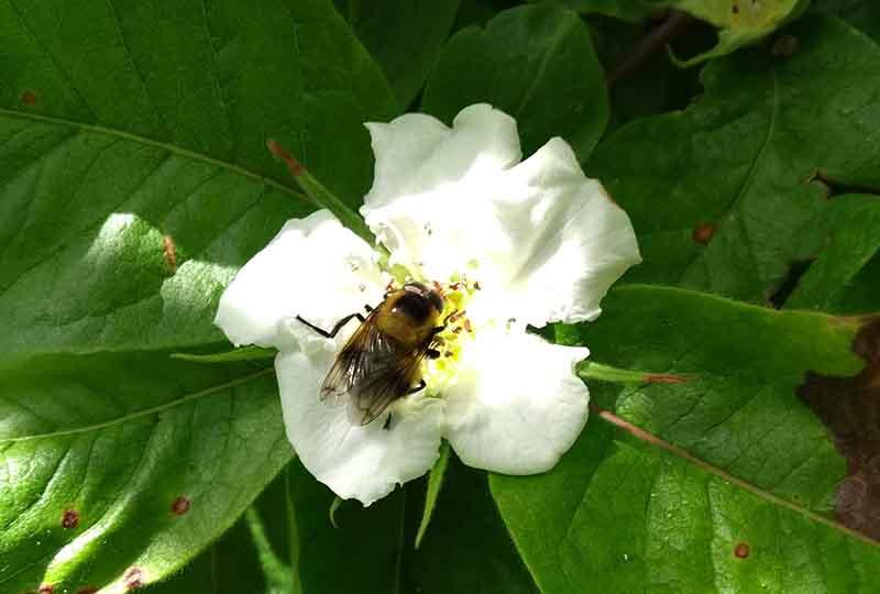 Bee enjoying a Medlar in blossom