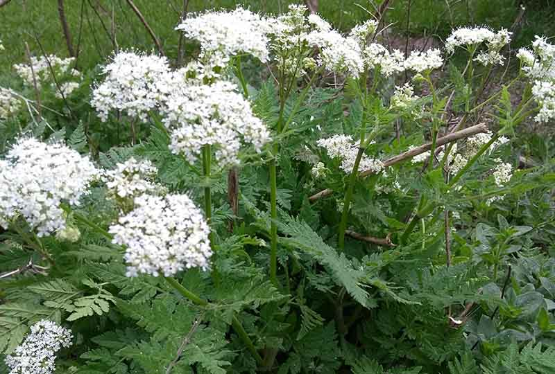 Sweet Cicely in flower