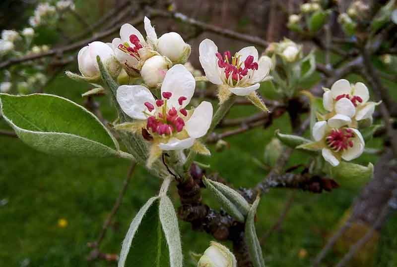Warden Pear Blossom at Museum